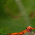 Easterm Newt Nnotophthalmus Viridescens 18 by Douglas Barnett