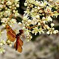Eastern Amberwing On Wild Buckwheat by Peg Urban