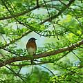 Eastern Bluebird In Bald Cypress Tree by Rebecca Sherman