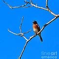Eastern Bluebird by Louise Heusinkveld