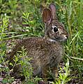Eastern Cottontail Rabbit Dmam005 by Gerry Gantt