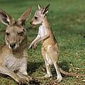 Eastern Grey Kangaroo And Joey by Cyril Ruoso