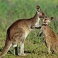 Eastern Grey Kangaroo Macropus by Cyril Ruoso