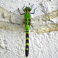 Eastern Pondhawk Dragonfly by Laurel Talabere