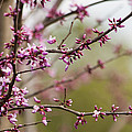 Eastern Redbud Asian Style by Kathy Clark