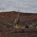 Eastern Reef Egret-dark Morph by Douglas Barnard