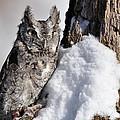 Eastern Screech Owl by Ronald Grogan