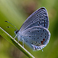 Eastern Tailed-blue Butterfly Din045 by Gerry Gantt