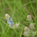 Eastern Tailed Blue Butterfly by Donna Brown