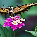 Eastern Tiger Swallowtail 7 by Douglas Barnett