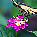 Eastern Tiger Swallowtail 8 by Douglas Barnett