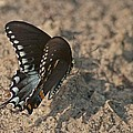 Eastern Tiger Swallowtail 8526 3205 by Michael Peychich
