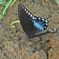 Eastern Tiger Swallowtail 8537 3215 by Michael Peychich