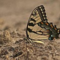Eastern Tiger Swallowtail 8542 3219 by Michael Peychich