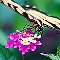 Eastern Tiger Swallowtail 9 by Douglas Barnett