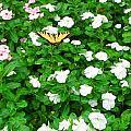 Eastern Tiger Swallowtail by April Patterson
