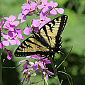 Canadian Tiger Swallowtail On Phlox by Doris Potter