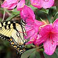 Eastern Tiger Swallowtail On Azalea by April Wietrecki Green