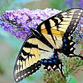 Eastern Tiger Swallowtail On Butterfly Bush by Craig Leaper