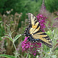 Eastern Tiger Swallowtail by Richard Reeve