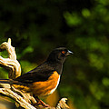Eastern Towhee by Steven Richardson