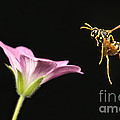 Eastern Yellow Jacket Wasp In Flight by Ted Kinsman