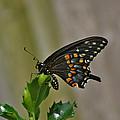 Ebony Butterfly by Calvin Nelson