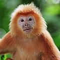 Ebony Leaf Monkey Trachypithecus by Thomas Marent