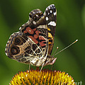Echinacea Butterfly Meal by Darleen Stry