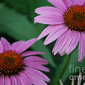 Echinacea Cone Flowers by First Star Art