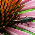 Echinacea Visitor by Mark J Seefeldt
