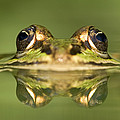 Edible Frog Rana Esculenta by Ingo Arndt