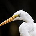 Egret - Old Whitey by Travis Truelove