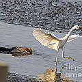 Egret Being Chased By Alligator by TJ Baccari