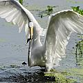 Egret by Calvin Smith