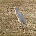 Egret Captures Snake by Bill Schaudt