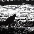 Egret Silhouette  by Douglas Barnard