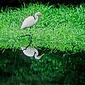 Egret Wading by Carolyn Smith
