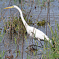Egret Walking by Teresa Blanton