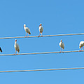Egrets On A Wire by Chris Andruskiewicz
