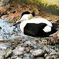 Eider Duck 2 by Ruth Hallam