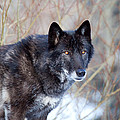 El Lobo by Jim Garrison