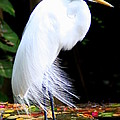 Elegant Egret At Water's Edge by Laurel Talabere