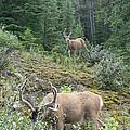 Elegant Elk by Laurel Best