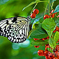 Elegant Rice Paper Butterfly On Berry Tree by Inspired Nature Photography Fine Art Photography