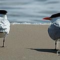 Elegant Tern by Vivian Christopher