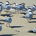 Elegant Terns Enjoying The Beach by Suzie Banks