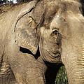 Elephant by Anthony Citro