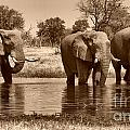 Elephant Bulls At Khwai River by Mareko Marciniak