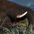 Elephant Eating Grass In Water 2 by Mareko Marciniak